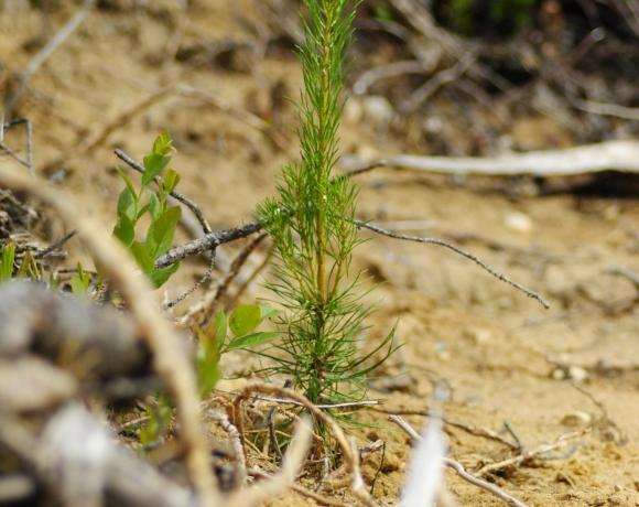 Plant de pin gris dans un terrain scarifié